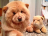 16 Dogs That Look Like Real Life Giant Teddy Bears