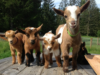 Seventeen Reasons Why Goats Are Underrated For Cuteness